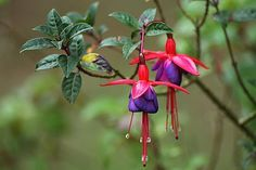fuchsia, drought-tolerant shade plants, fuchsia plants, fuchsia flowers, plants for shady gardens Imagenes Fantasia Y Color, Growing Flowers, Planting Flowers, Flower Seeds, Flower Pots, Purple Bell Flowers, Hydrangea Colors, Turquoise Background, Gardens