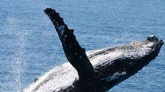 Humpbacks having whale of time