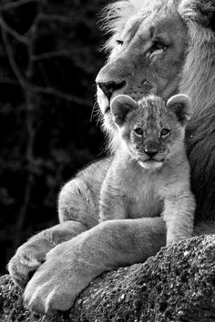 Male Lion and his cub. I love this photo.