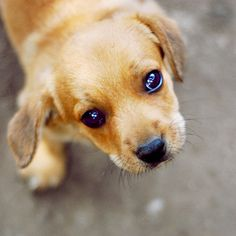 7 Best Puppy Dog Eyes Images Cute Puppies Adorable Animals