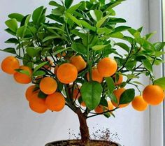 daneyris Olivares Beaitiful little tree orange bonsai