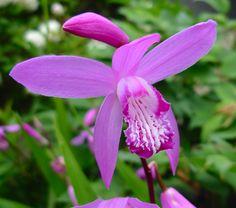 Urn Orchid, Chinese Ground Orchid (Bletilla striata)