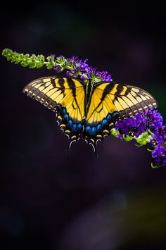 Yellow Swallowtail Butterfly. Gorgeous picture.