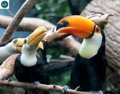 https://www.facebook.com/WonderBirdSpecies/ Toco toucan/Giant toucan (Ramphastos toco); South America; IUCN Red List of Threatened Species 3.1 : Least Concern (LC)(Loài ít quan tâm) || Toucan Tôcô; Nam Mỹ; HỌ TOUCAN- RAMPHASTIDAE (Toucans).