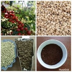 Kenyan Coffee: The Myths and Facts in your Cup – Agrofoodious International Coffee Organization, Coffee Beans, Coffee Cups, Kenyan Coffee, Coffee Prices, Best Beans, Coffee Health Benefits, Coffee Tasting, Instant Coffee