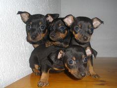Four more mini Pinscher's please! :)