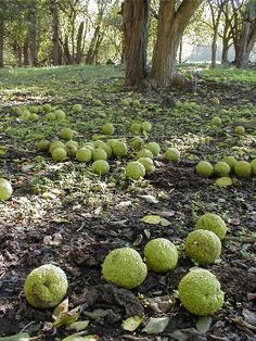 Bobbi Dawn Rightmyer, Kentucky Author: From afternoon dreaming to Haiku Garden Art, Garden Plants, Hedge Apples, Apple Decorations, Fall Harvest, Autumn, Deco Floral, Flowering Trees, Hedges