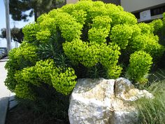 Euphorbia characias forms a natural rounded shape, and brings structure and an architectural quality to the garden, while the colour and texture offer almost endless contrast possibilities. Landscaping Plants, Plants, Beautiful Gardens, Planting Flowers, Mediterranean Plants, Euphorbia, Dry Garden, Garden Landscape Design, Perennial Shrubs