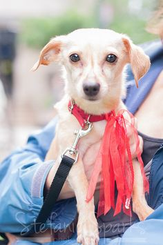 My name is Tiki and I'm a chi-weenie, a chihuahua and dachshund mix, looking for my new forever home in the DC area. Visit ruraldogrescue.com for more details on me an other adorable adoptables.