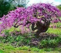 Flowering Tree Identification Tree Identification Malus