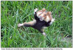 Kung Fu Guinea Pig                                                                                                                                                                                 もっと見る