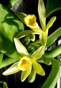 "Did you know that vanilla comes from orchids? That's right, orchids. Vanilla flavoring is the product of the Vanilla orchid, scientific name Vanilla planifolia (Planifolia is Latin for ""flat-leaved… Vanilla Plant, Vanilla Orchid, Exotic Flowers, Love Flowers, Beautiful Flowers, Plante Carnivore, Hair Cleanser, Vanilla Essential Oil, Essential Oils"