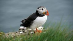 Iceland 2009: Lundi  by Marco Asbach  Lundi - the icelandic name name for Puffins, one of the most known birds on Iceland. The shots were taken at Látrabjarg.