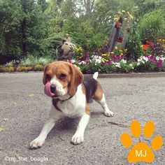 Beagles are amazing #beagles #beagle