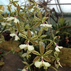 Epidendrum stamfordianum orchid species