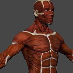 Buy Human Anatomy Muscles by cgseed on Human anatomy muscles This model recreates the human muscles of the whole body that are visible on the surface. 3d Anatomy, Muscle Anatomy, Human Anatomy, Zbrush, Muscular System, 3d Max, Human Body, Superhero, Muscles