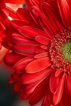 Flowers Nature, Exotic Flowers, Amazing Flowers, Red Flowers, Beautiful Flowers, Amarillis, Daisy Love, Gerber Daisies, Flower Phone Wallpaper