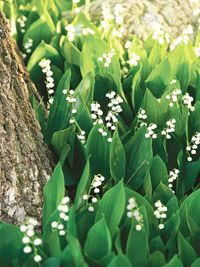 lilly of the valley - thrives in shade?!  around the tree/ back flower bed idea?