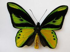 The Ornithoptera Chimaera is an insect so are that it HAS no common name! This beautiful (and it IS... isn't it?) butterfly is a member the birdwing family.