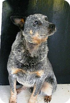 ***7/17/14 STILL LISTED***W VIRGINA URGENT ~ Snoop ID 5946147-3269a is a 4-5yo Australian Cattle Dog / Blue Heeler that was O.Surr'd w/ an embedded collar. It wasn't immed seen but has now been treated - he was of course skittish at 1st & has been thoroughly temp tested & no problems were seen - he's good w/ other animals & just needs a loving #adopter / #rescue. FAYETTE COUNTY ANIMAL CONTROL 513 Shelter Rd #Fayetteville WV 25840 fcacc@ymail.com Ph 304-574-3682