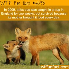 Fox pup survived for two weeks while caught in a trap - WTF fun facts