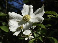 Pacific Dogwood by