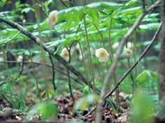 The Mayapple is a beautiful single-flower plant that can be found in the Skyline Drive portion of Bald Eagle State Park.