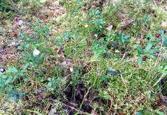 Marjalaatikko: mustikka&puolukka!  Lokakuussa myös puolukka kukkii, ennättääköhän toinen sato valmistua ennen lumentuloa?