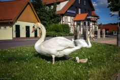 Swan Family jigsaw puzzle in Animals puzzles on TheJigsawPuzzles.com