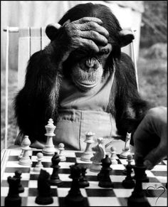 Stock Photo - The Champion Chimps. Pepe, the chess champion of Chimp Town, gets in some serious practice before this year's big games. Chess Strategies, Funny Animals, Cute Animals, Foto Poster, Black White, Stavanger, Tier Fotos, Belle Photo, Black And White Photography