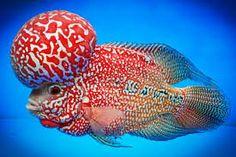 FAQs on the Flowerhorn Cichlid Identification Saltwater Aquarium Fish, Freshwater Aquarium Fish, Saltwater Tank, Pez Flower, Aquarium Backgrounds, Fishing World, African Cichlids, Ocean Creatures, Beautiful Fish