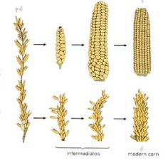"""""""The invention of corn is only comparable with man's invention of fire."""" Octavio Paz  The Indians transformed teosinte, the grass on the left, into the world's most nutritious and productive grain. http://txtwriter.com/Backgrounders/Evolution/EVpage09.html"""