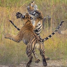 Wildlife Animals & Nature  /  Bengal Tiger fight at Bandhavgarh National Park in India  /  by Andrew Parkinson