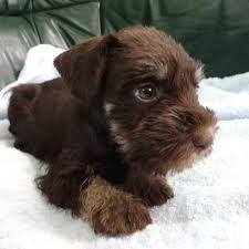 Google 画像検索結果: http://schnauzer.breeders.jp/img/p/1567_p1212090423.jpg