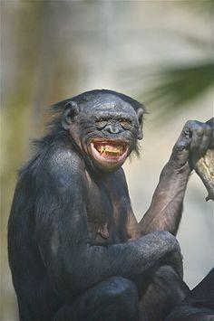 Imagem: 'Sorridentes', eles surpreenderam os fotógrafos (© Gary Vestal/Getty Images) Chimpanzé
