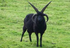 Hebridean sheep are like the coolest sheep ever