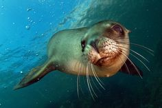 The 21 Basic Mammal Groups: Seals and Sea Lions