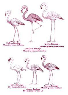 kinds of flamingos