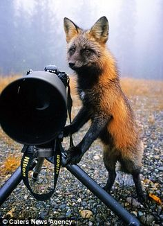 The fox aiming the camera.  A lot of cute fox pictures here!