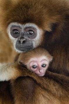 Primates, Mammals, Animals And Pets, Cute Animals, Crazy Animals, Wild Animals, Baby Lemur, Mother And Baby Animals, Animal Experiences