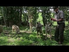 Swimming with wolves: The Belarusian family who keep the wild animals fo...