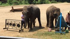 Elephants create music by playing instruments