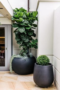 Pot belly planter with a Fiddle leaf fig (ficus lyrata) and a Japanese box by Harrison Landscaping.