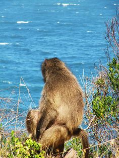 baboons south africa , cape of good hope.