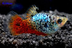 Calico Platy.  This strain could almost get me to keep platies! #TropicalFishFreshwater