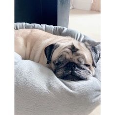 Settled into my morning snooze after my meal. Didn't even say bye to my human as she left for work. I feel too comfy in this spot.  #HKDR #hongkongdogrescue #pug #pugsofinstagram #puglife #rescuepug