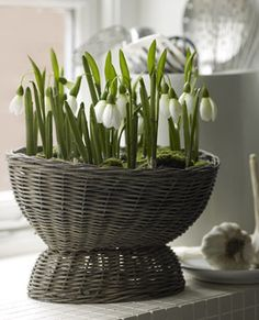 force some snowdrop bulbs, ittsa long winter