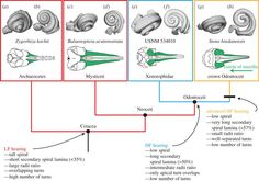 Plotting the evolution of whale echolocation using a 26 million-year-old fossil inner ear bone.