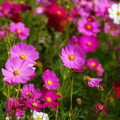 cosmo flower pictures | File:Cosmos flowers in Thailand 05.jpg - Wikimedia Commons