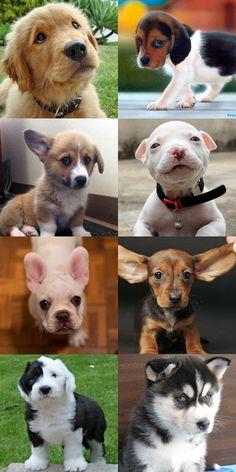 Puppy Cute off! Who is Cutest? (Golden Retriever, Beagle, Corgi, Pitbull, French Bulldog, Daschund, Old English Sheep Dog, Husky)
